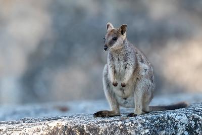 Mareeba Rock-wallaby, Mareeba, QLD, Aug 2020-9