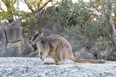 Mareeba Rock-wallaby, Mareeba, QLD, Aug 2020-23