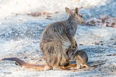 Mareeba Rock-wallaby, Mareeba, QLD, Aug 2020-15