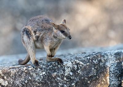 Mareeba Rock-wallaby, Mareeba, QLD, Aug 2020-8