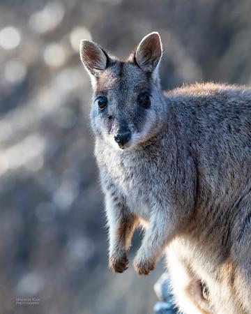 Mareeba Rock-wallaby, Mareeba, QLD, Aug 2020-28