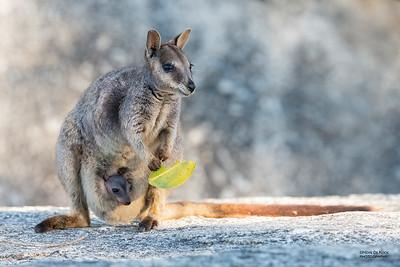Mareeba Rock-wallaby, Mareeba, QLD, Aug 2020-21