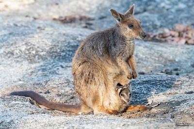 Mareeba Rock-wallaby, Mareeba, QLD, Aug 2020-14