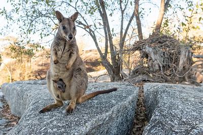 Mareeba Rock-wallaby, Mareeba, QLD, Aug 2020-11