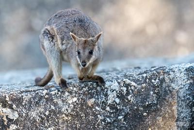 Mareeba Rock-wallaby, Mareeba, QLD, Aug 2020-10