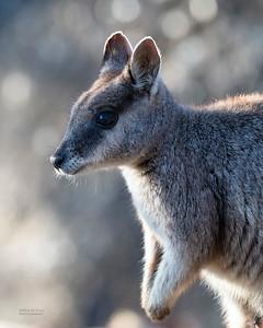 Mareeba Rock-wallaby, Mareeba, QLD, Aug 2020-27