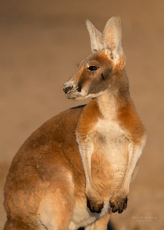 Red Kangaroo, Bowra, Cunnamulla, QLD, Aus, Sept 2017-1