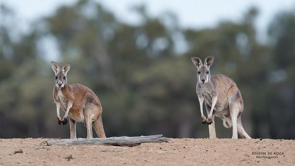 Red Kangaroo, Bowra, Cunnamulla, QLD, Aus, Sept 2017-3
