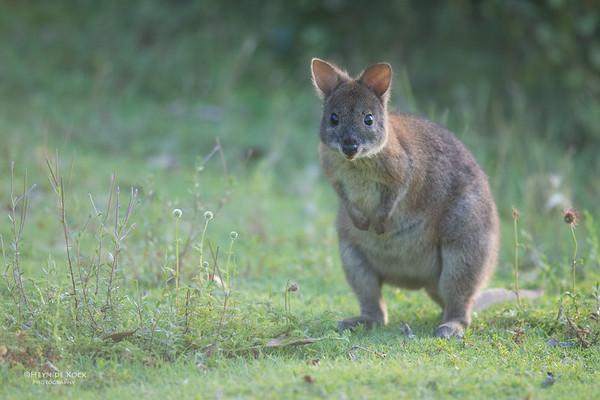 Red-necked Pademelon, Lamington NP, QLD, Dec 2015-2
