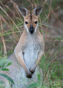 Red-necked Wallaby, Nerang, QLD, Jul 2019-1