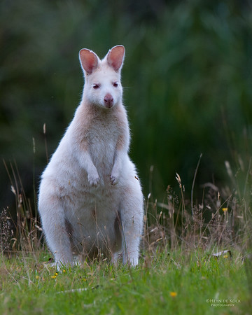 Bennet's Wallaby, Bruny Island, TAS, Feb 2011