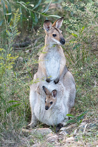 Red-necked Wallaby, Nerang, QLD, Jul 2019