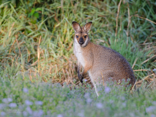 Red-necked Wallaby, Coombabah Lakelands, QLD, Sept 2011