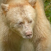 Kermode Bear, Great Bear Rainforest, British Columbia