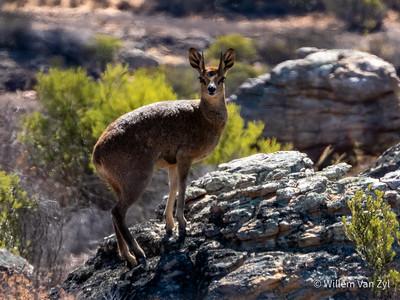 20191220 Klipspringer (Oreotragus oreotragus) from Cederberg, Western Cape