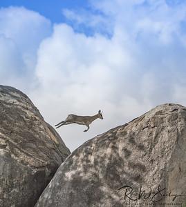 Klipspringer Springing