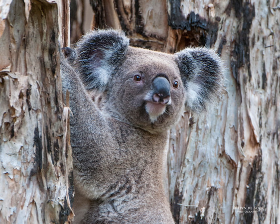 Koala, Coombabah, QLD, May 2011-2a