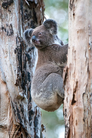 Koala, Coombabah, QLD, May 2011-1