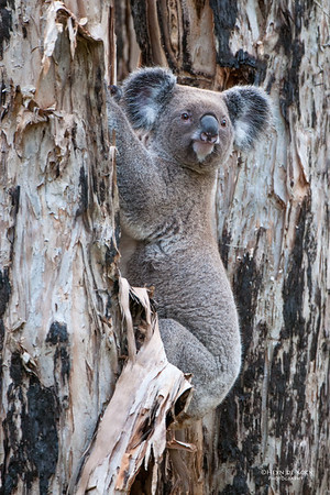 Koala, Coombabah, QLD, May 2011-2