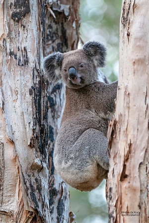 Koala, Coombabah, QLD, May 2011-3