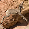 Young Big Horn sheep jumping at Arizona Sonora Desert Museum