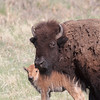 Mother and child bison