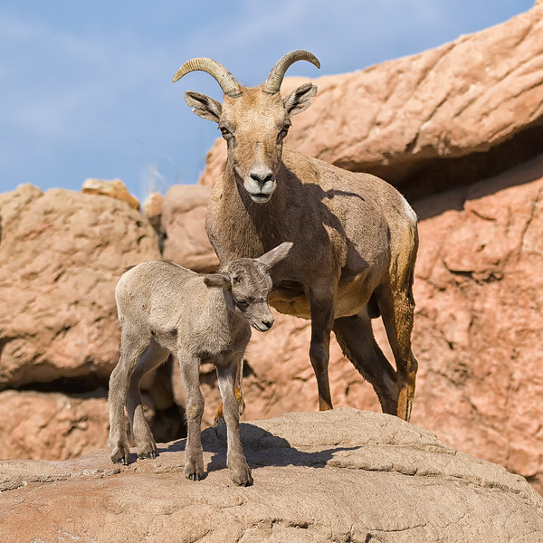 Weeks old big horn sheep with mohter at Arizona Sonoran Desert Museum