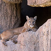 Mountain lion at Arizona Sonora Desert Museum