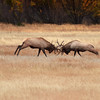 Fighting Elk in Rocky Mountain National Park