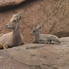 Mother and child Bighorn Sheep (captive)