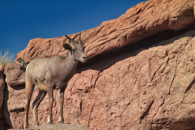 Young Bighorn Sheep (captive)