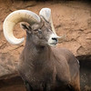 Bighorn sheep at Desert museum