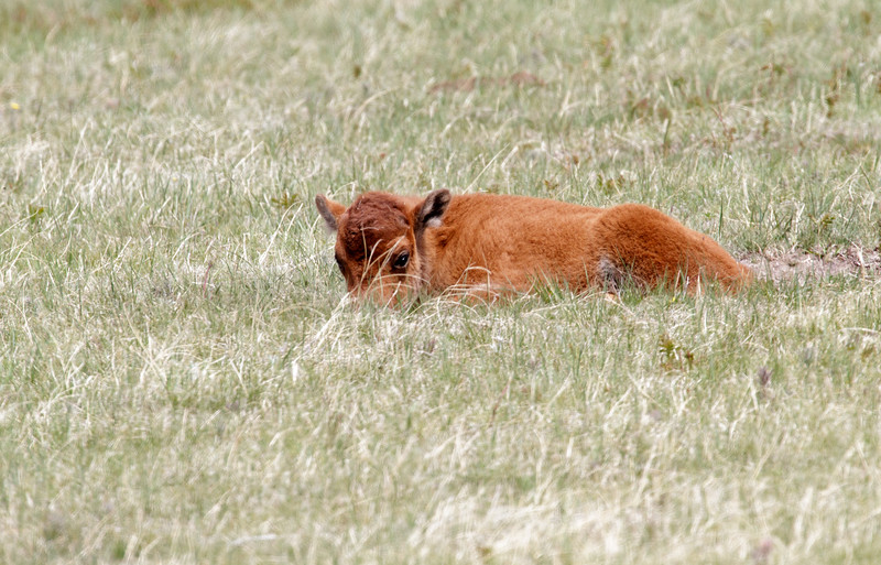 Hiding baby bison