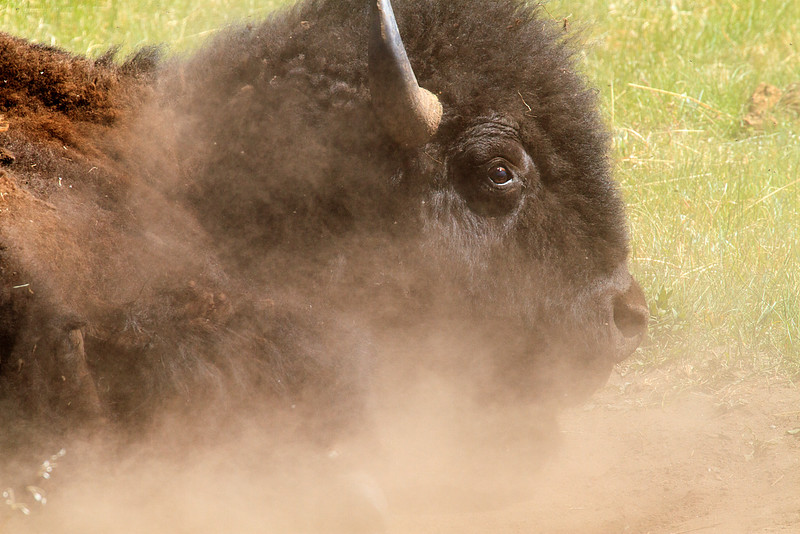 Bison taking dust bath
