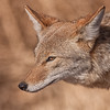 Up close coyote