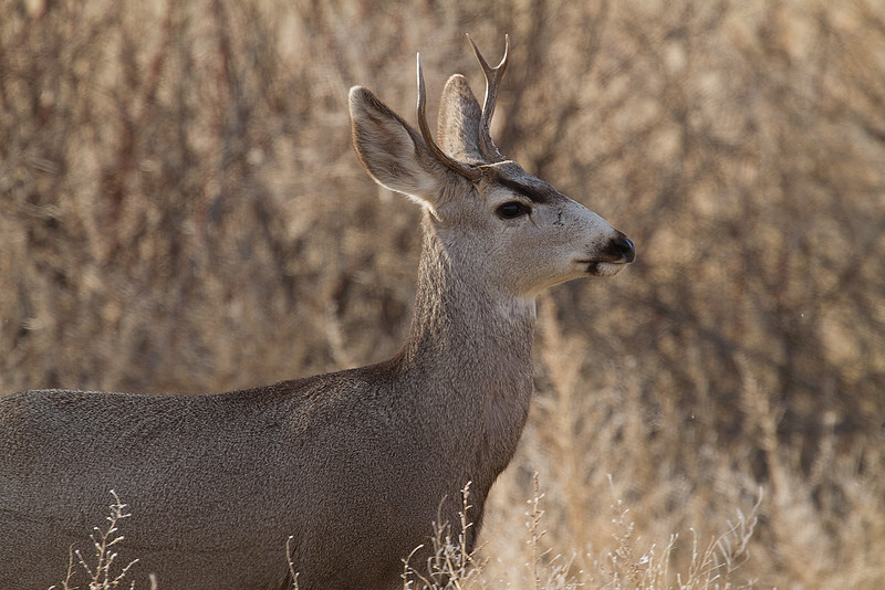 Deer at Bosque del Apache, New Mexico