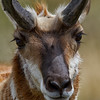 Up close pronghorn
