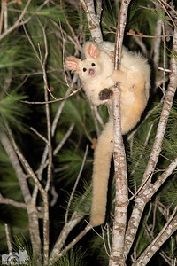 Southern Greater Glider
