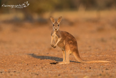 Red Kangaroo - Juvenile Male