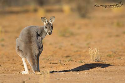 Red Kangaroo - Adult Female