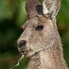 Eastern Grey Kangaroo - Male