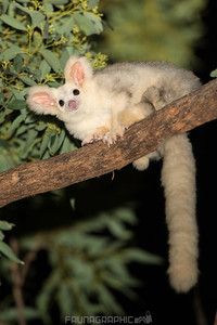 Southern Greater Glider (White Form)