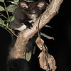 Southern Greater Glider - Normal Form