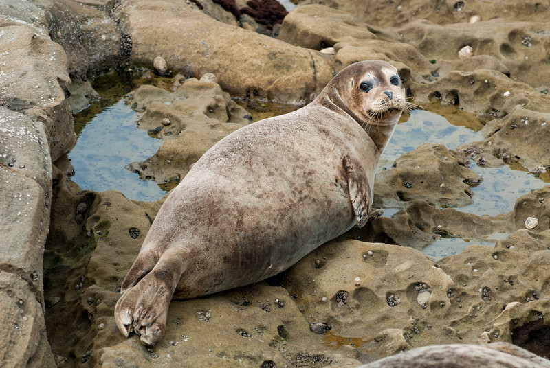 Pacific Harbor Seal