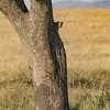 Leopard Cub Wary Of Descent Of Tree