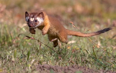 Long tailed Wease