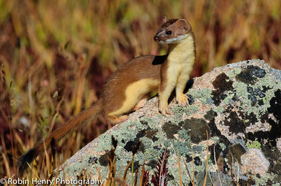 Long-tailed Weasel-164