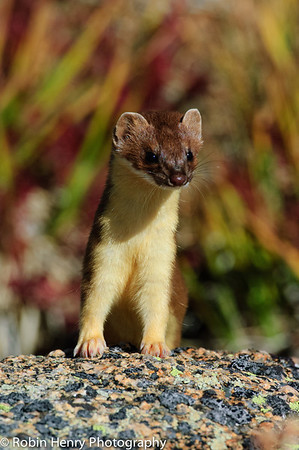 Long-tailed Weasel-191