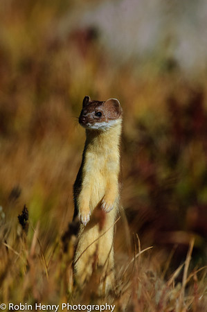 Long-tailed Weasel-134