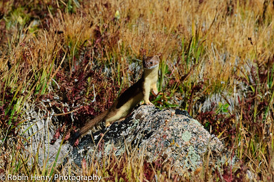 Long-tailed Weasel-218